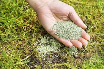 What is the Best Grass Seed for Overseeding?
