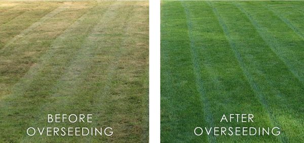 overseeding-before-after