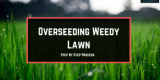 Is Overseeding Weedy Lawn Necessary?